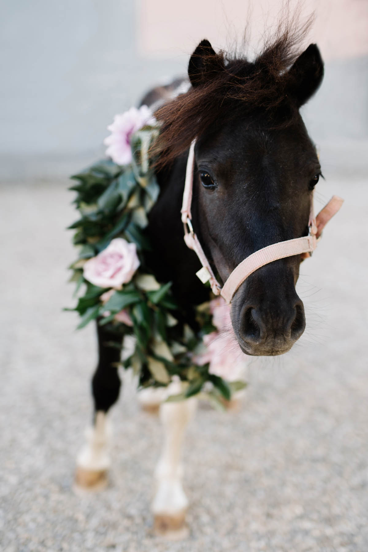 pony at wedding with rose garland Tuscany